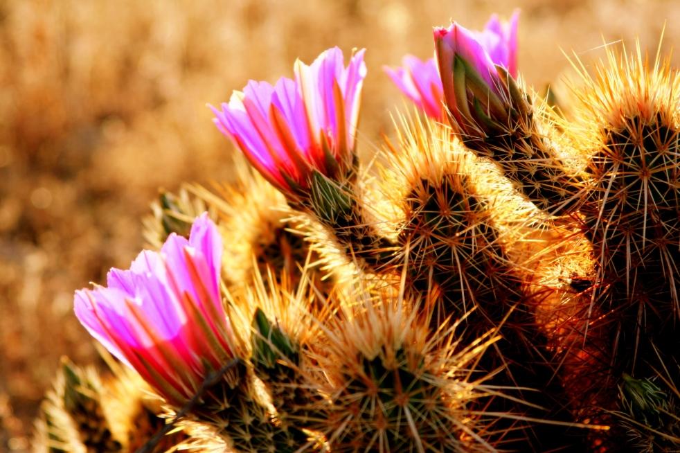 blooms-flowers-desert-1454377-o.jpg