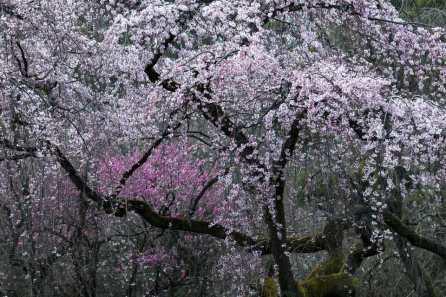 flowering tree 1